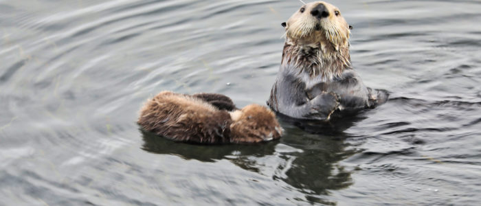 Morro Bay otters