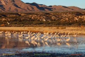 Bosque del Apache sandhill cranes