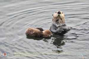 Morro Bay otters